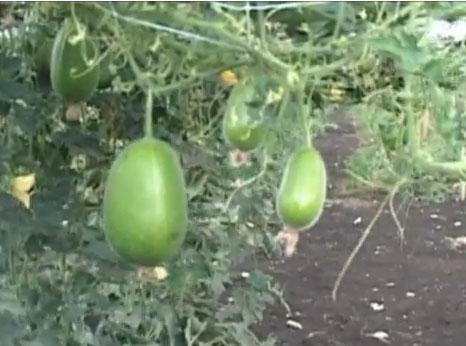 trrracina-Agriculture